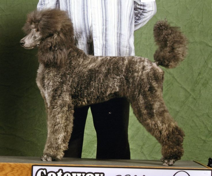 110 best i �� standard poodles images on pinterest