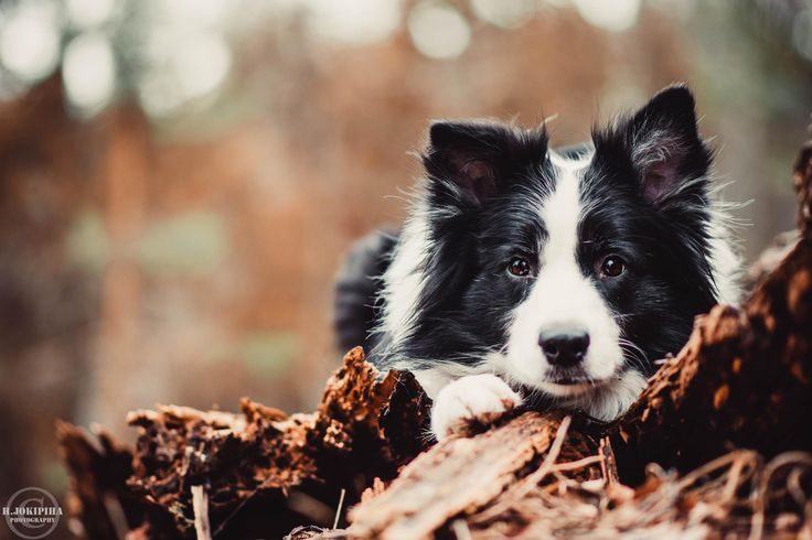Border Collie pup ~ - Tap the pin for the most adorable pawtastic fur baby apparel! You'll love the dog clothes and cat clothes! <3