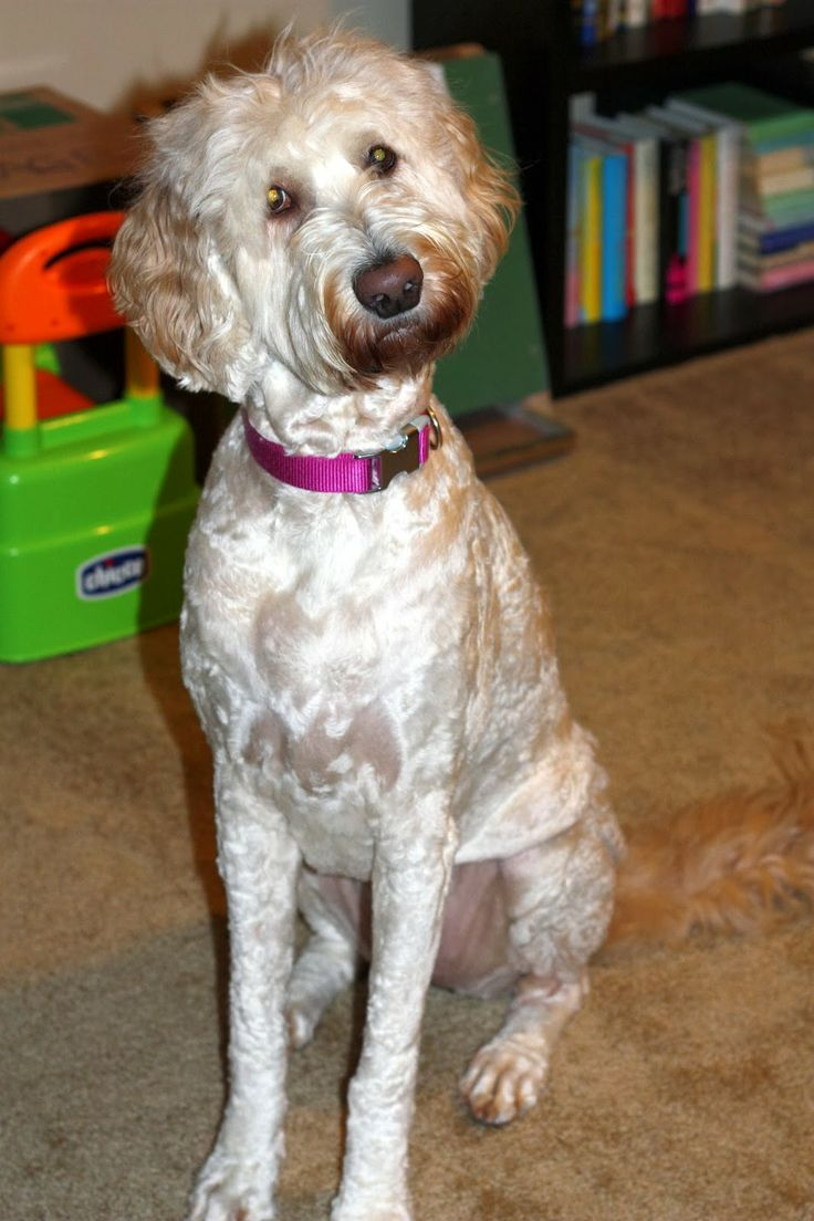 how to cut labradoodle hair