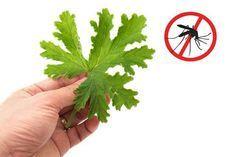 7 Φυτά που απωθούν τα κουνούπια!