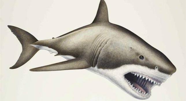 megalodon fosil - Buscar con Google