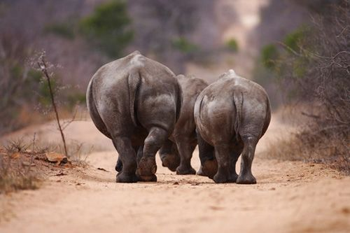 The thrill of viewing animals in the wild is unparalleled. Make your lasting memories with African Welcome  http://www.africanwelcome.com/kruger-national-park/private-game-lodges-timbavati-kruger-national-park/royal-malewane-timbavati-accommodation