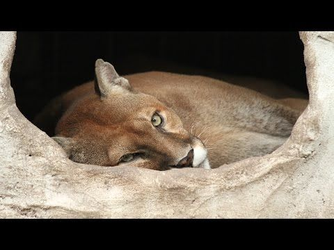 Cougar Defies Nightmare Zoo By Learning To Walk Again -When Mickey was finally rescued, he was emaciated, his teeth were rotting and his legs were so debilitated from what specialists believed were torn ACLs that he could barely stand up. After further examinations, veterinarians determined that Mickey's knees were ravaged, with no ligaments or cartilage left at all.