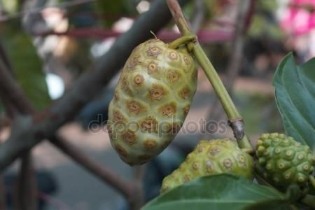 Noni fruit commonly used as traditional medicines or herbs in Indonesia.