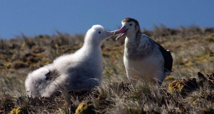 Смотрите на ухаживания альбатросов - https://www.sribno.com/ranking/smotrite-na-uhazhivanija-albatrosov.html