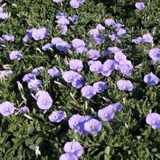 Violet-blue Convolvulus sabatius - Convolvulaceae - Liseron de Mauritanie