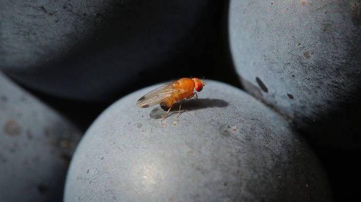 Lotta alla drosophila