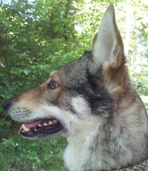 Alert Falcon Onze hond, een tsjechoslowaakse wolfhond / our dog, a Czechoslovakian Wolfdog