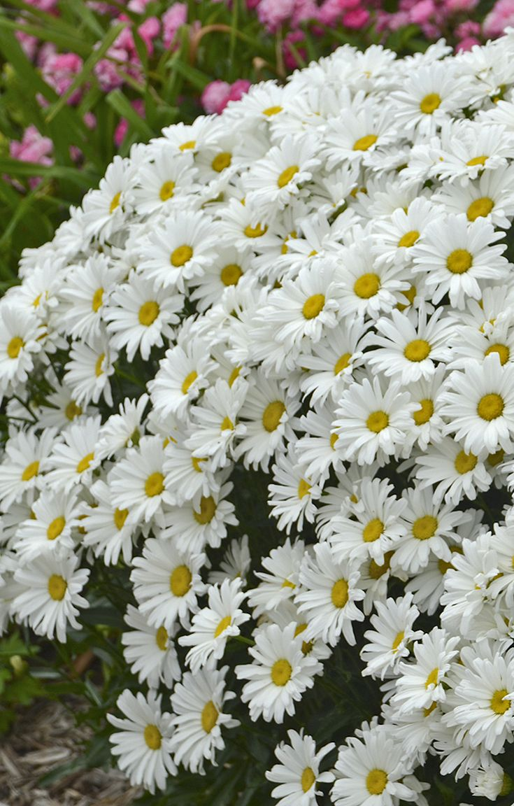 "Who doesn't love daisies? And with Daisy May, you can enjoy 3"" blooms every year, picked from your perennial garden for a vase on your table!"