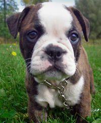 Minion the Boston Terrier / Bulldog