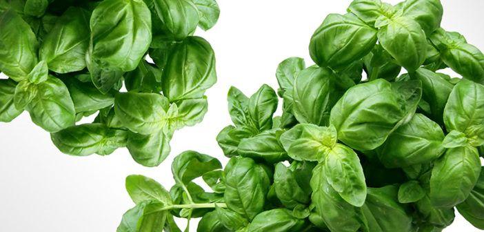 Adaptogení byliny používané pro zotavení z chronické a adrenální únavy. Mezi strategie k potlačení chronické nebo adrenální únavy patří používání různých bylin. V dnešním článku se podíváme na nejčastěji používané.