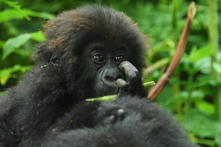 Gorilla Naming in Rwanda with Katona Tours and Travel