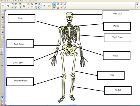 9 best human body images on pinterest human body the human body human skeleton ccuart Image collections