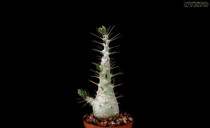 Pachypodium saundersii | by Nuxtofulakas