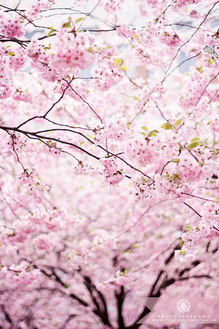 Cherry blossom // sakura   I bet this smells AMAZING