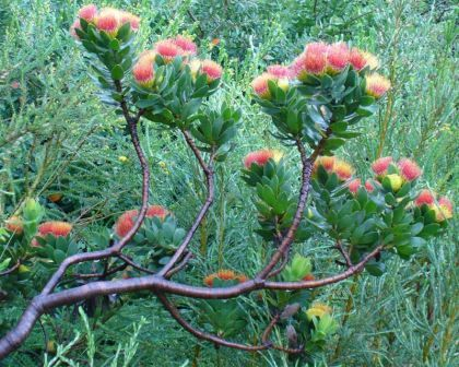 Leucospermum oleifolium - Pincushion Plant photo Andrew Massyn