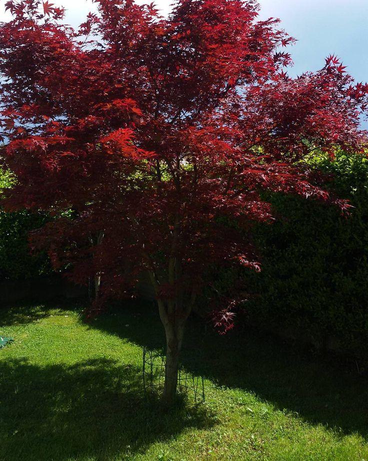 #sole#garden#giardino#nature#color#albero#foglie#rosse#red#paesaggio#landscape#myhome#instalike#instanature#instasun# by clau_dia58