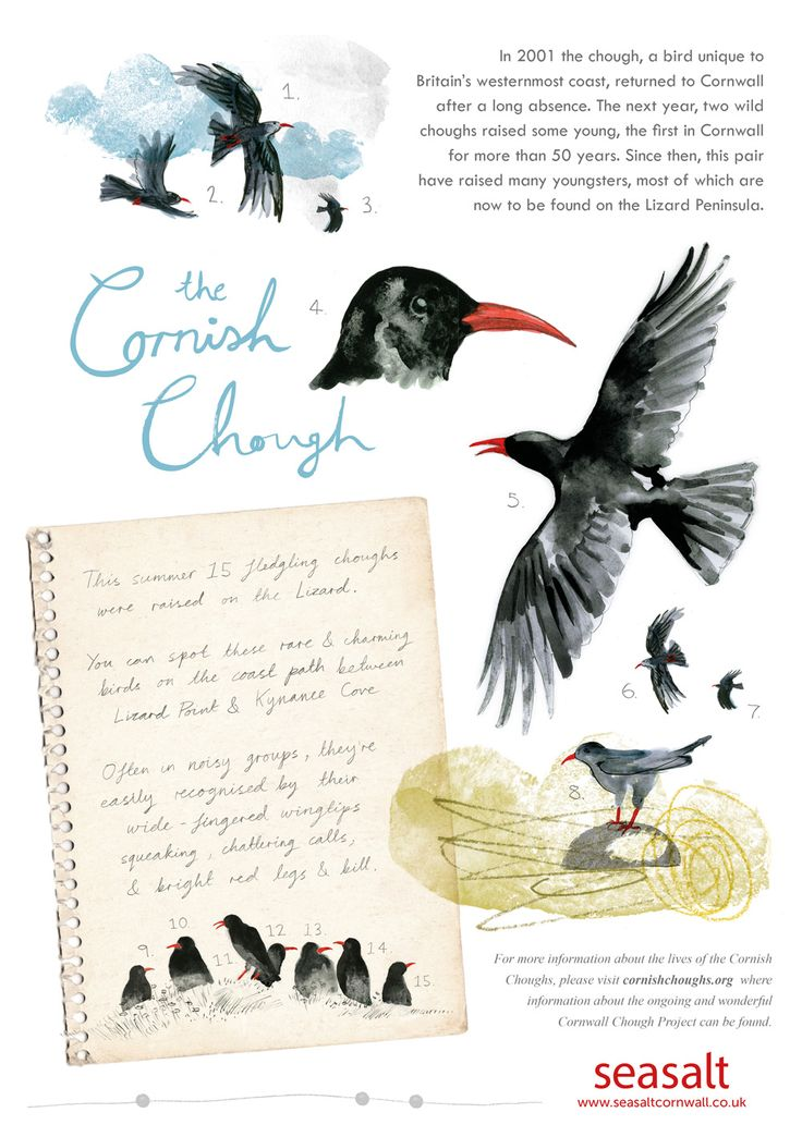 'CORNISH CHOUGH' | Seasalt Cornwall: Illustration     ✫ღ⊰n