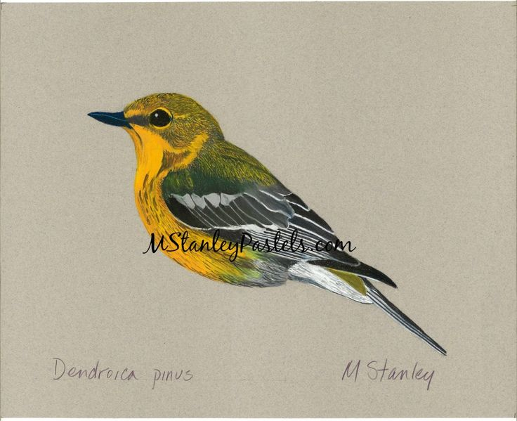 Pastel drawing of the bird pine warbler Dendroica pinus. Wish to purchase it? Please go to http://www.etsy.com/shop/mstanleypastels