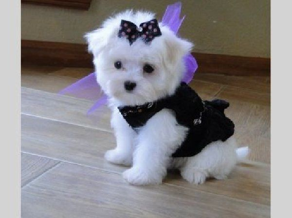 Teacup Maltese soooooon i will have a grl pup just lyke this her name will b Cali =)