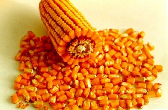 Segundo levantamento da Scot Consultoria, a saca de milho de 60 quilos está cotada em R$49,50 na região de Campinas, em São Paulo. O preço é sem o frete, para entrega imediata. As cotações subiram 1,0% no acumulado de maio…