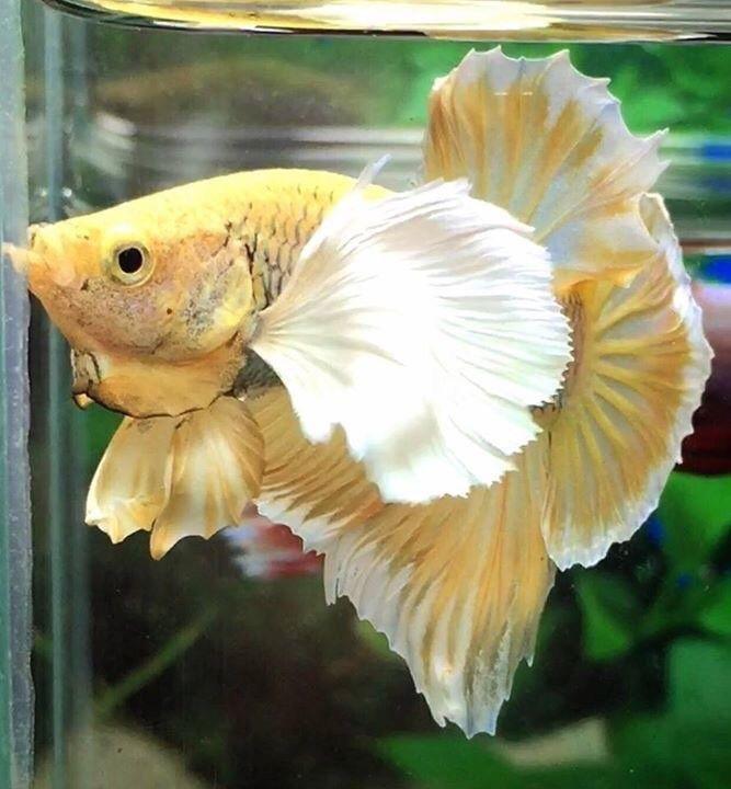 Live Betta Fish Dumbo yellow Pineapple Halfmoon Plakat Male
