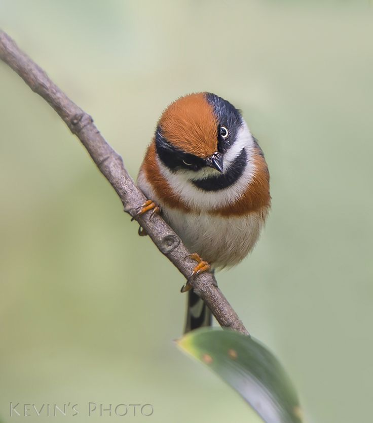 Black-throated Tit (Aegithalos concinnus), also known as Black-throated Bushtit,  is highly social and will travel in large flocks of up to 40 birds. |  Family Aegithalidae   |  by Kevin Chan