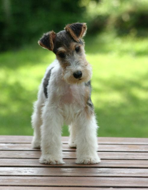 Wire Fox Terrier Puppy