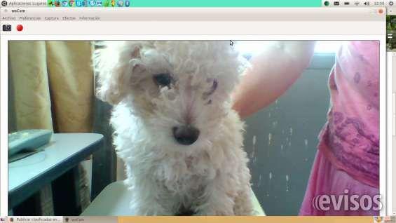 Vendo perrito  caniche  Vendo caniche de 2 meses con todas las vacunas   ..  http://salto-city.evisos.com.uy/vendo-perrito-caniche-id-329388