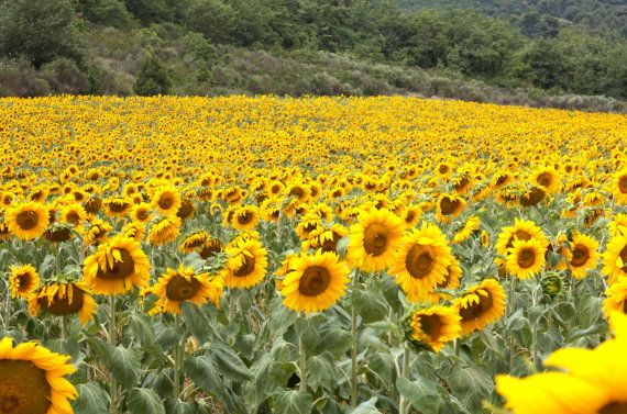Provence sunflowers sunflower field photo in by angiemccullagh, $120.00