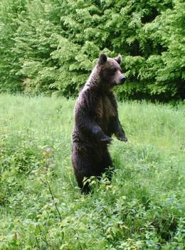 # Wildlife in Romania http://www.wildlifeextra.com/resources/listimg/world/europe/carpathian_bear_muskwa@body.JPG