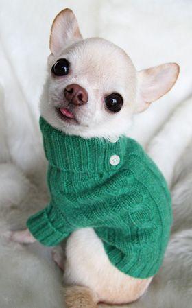 . OMG I want one. White Chihuahua