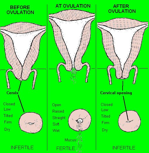 How to Detect your Cervix Position (CP) and Cervical Mucus (CM) type for your Charts - BabyCenter