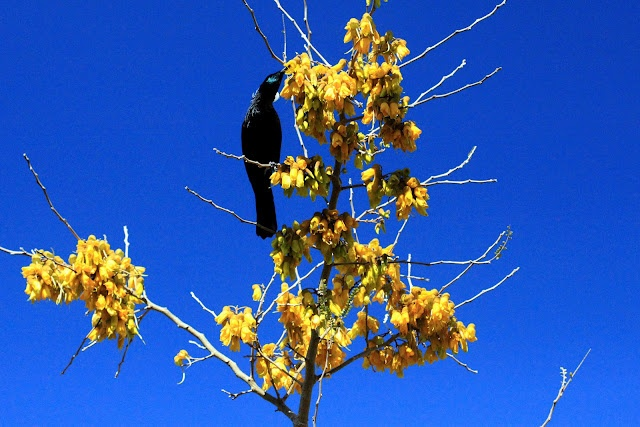 Tui in the Kowhai tree