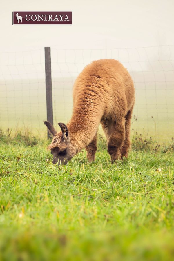 It's time for breakfast! :) Best grass of course in Coniraya! :D #llama #coniraya #alpaca