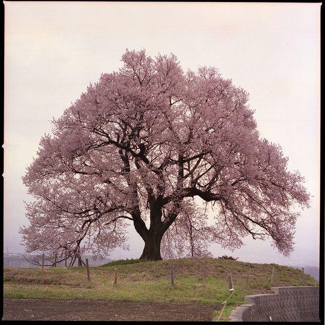 how to grow rainier cherry tree