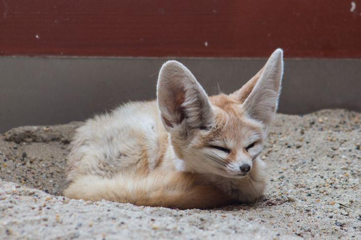 Sivatagi róka. Fennec fox.