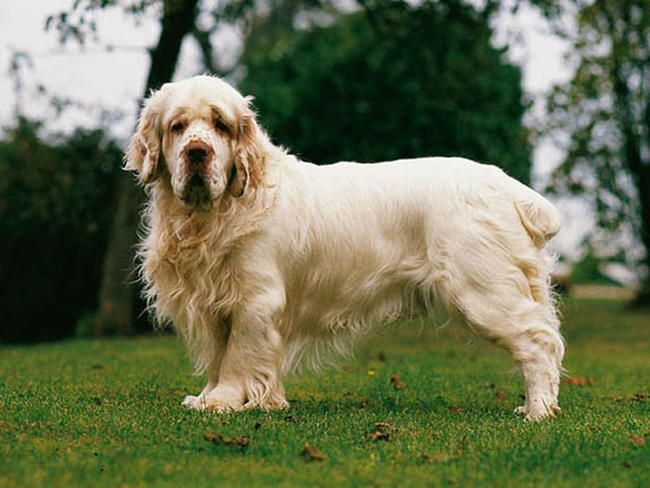 Clumber Spaniel - The Clumber is the slowest and heaviest of the spaniels. Its ancestors are believed to be the Basset Hound and a spaniel of continental origin. A French nobleman, the Duc de Noailles, created the breed.