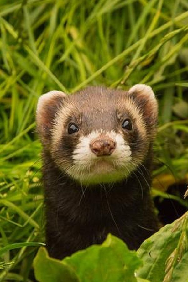 This Adorable Little Ferret Has An Identity Crisis Thinks He S Just One Of The Dogs Video Ferret Toys Ferret Pet Ferret