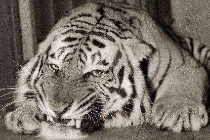 LSU Tigers mascot Mike II served from 1956-1958. A few days after Mike I's death, a resolution endorsing the purchase of another tiger was introduced in the Louisiana legislature and a fund was set up by LSU students to underwrite the cost. He was born on February 28, 1956 at the Audubon Zoo in New Orleans and was chosen because his paws were larger than those of the other cubs. He was unveiled on September 29, 1956, during the opening game of the football season.