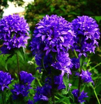 Długo kwitnący, kulisty DZWONEK 'ACAULIS'