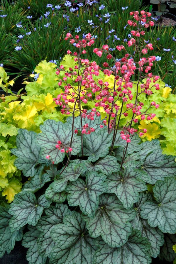 Coral Bells – Heuchera ssp.    Coral Bells are a widely used favorite because they are easy to grow and care for. The large leaves are available in a variety of hues from light green, to burgundy, to silvery green. Coral Bells does very well in shade to partial sun.  Available flower colors range from white to red, and are produced on slender stalks in late spring to early summer.