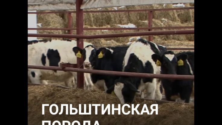 ООО КамАгро - Продажа КРС оптом! +7 965-617-60-05 WhatsApp