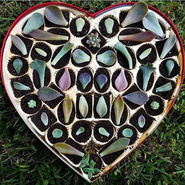 Propagating love in an empty box of chocolates!!! By @sunshine_succulents  #succulent #succulents #thesucculentsource