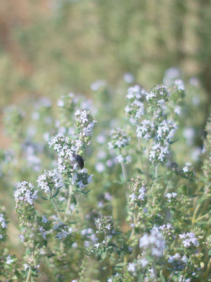 Tzekos Organic Herbs   our land