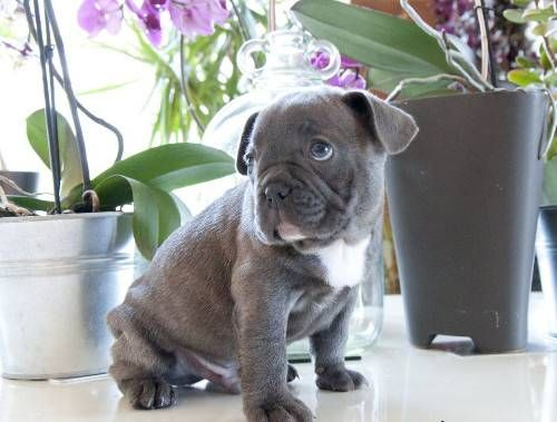 MOBILE New French Bulldog Blue Puppies. For information and pictures of our blue french bulldog puppies for sale, text us your email address on 530724 - 8164 $350.00 USD