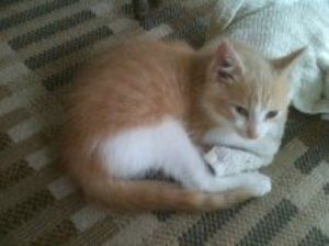 Bevo is an adoptable Domestic Medium Hair - Orange And White Cat in Jasper, TX. Hi! My name is Bevo! I'm 3 months old and very friendly! I'm affectionate and tend to purr..a lot. My foster Mom & Dad t...