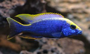Tropical Fish for Sale - African Cichlids | other pets for sale ...