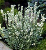 White Lavender Plants For Sale-Buy White Lavender Plants