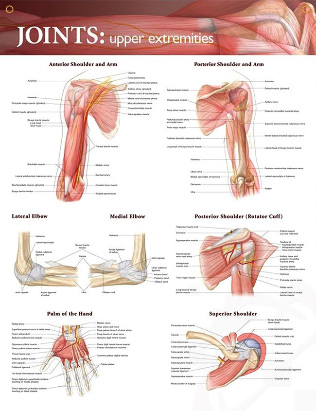 best 10+ shoulder joint anatomy ideas on pinterest | scapula, Muscles